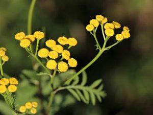 Eterično ulje smilja dobivamo obradom cvjetova smilja